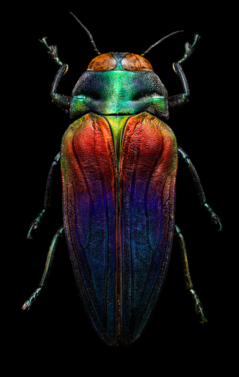 """Tricolored Jewel Beetle"""