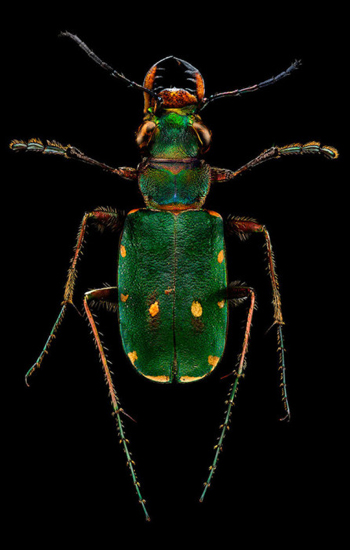 """Green Tiger Beetle"""